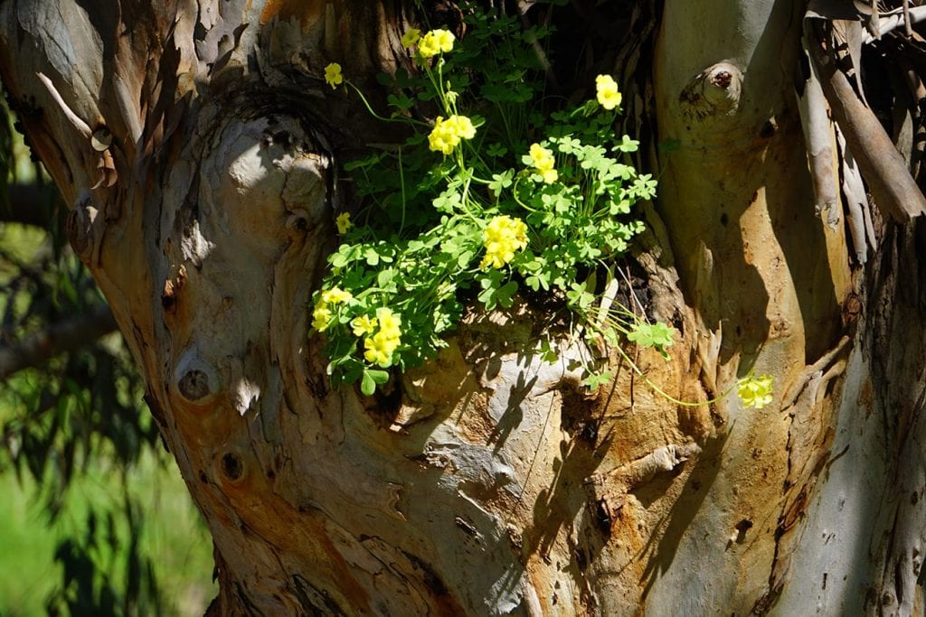 חמציצים מבצבצים מתוך עץ