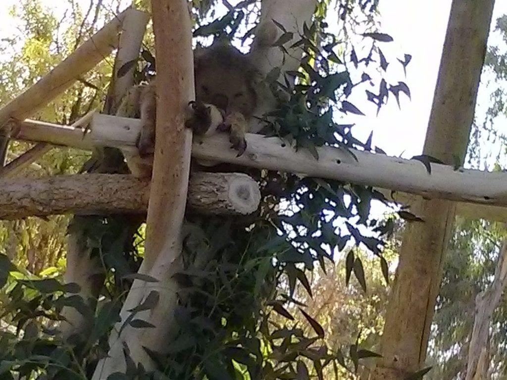 קואלה בגן גורו