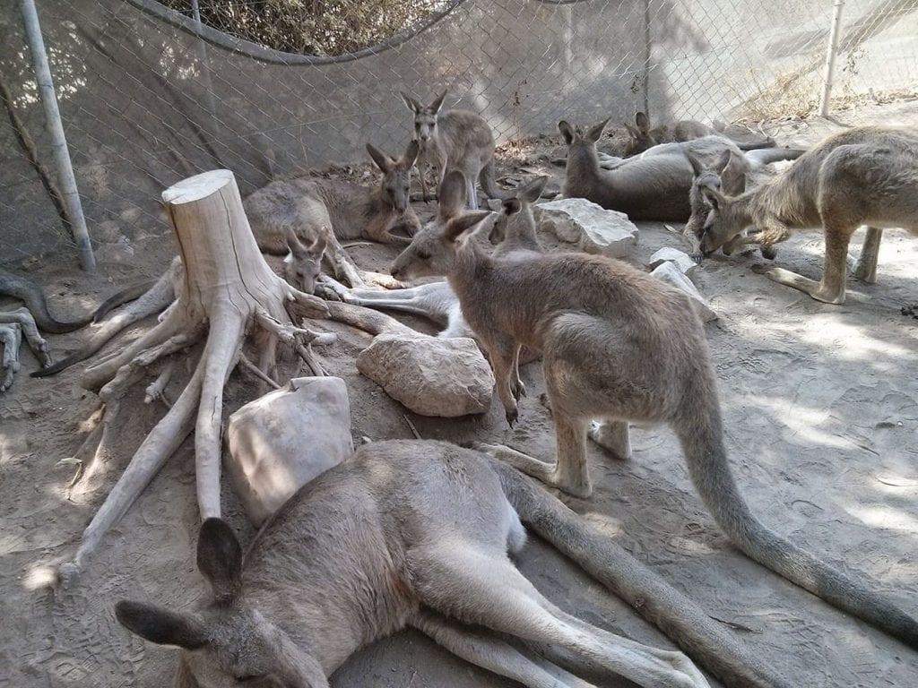 קנגורו בקיבוץ ניר דוד