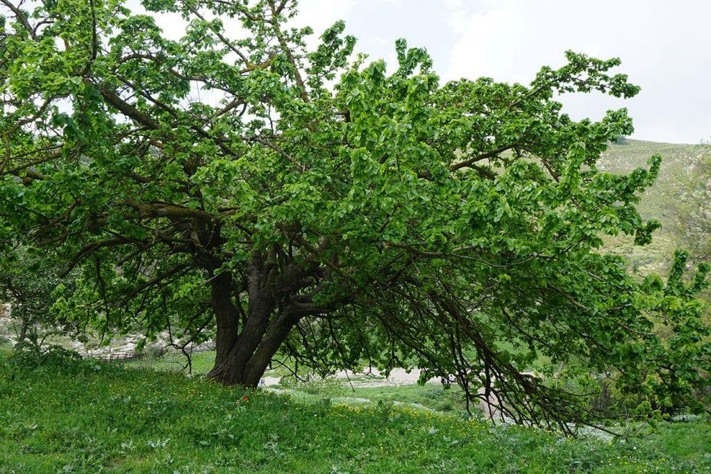 עץ רחב
