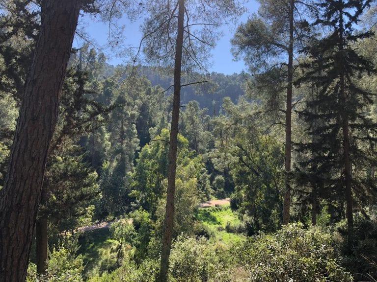 עצי מחט - כרמילה